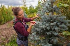 Il giardiniere della donna taglia l'abete rosso blu facendo uso delle cesoie Immagini Stock