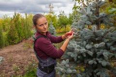 Il giardiniere della donna taglia l'abete rosso blu facendo uso delle cesoie Fotografie Stock Libere da Diritti