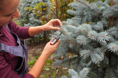 Il giardiniere della donna taglia l'abete rosso blu facendo uso delle cesoie Immagini Stock Libere da Diritti