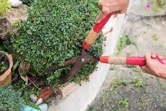 Il giardiniere passa la pianta della guarnizione nel giardino Fotografia Stock Libera da Diritti