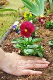 Il giardiniere pianta il Pansy Immagine Stock