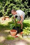 Il giardiniere repot la pianta verde della vera dell'aloe in giardino Immagini Stock