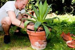 Il giardiniere repot la pianta verde della vera dell'aloe in giardino Fotografia Stock Libera da Diritti