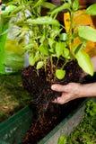 Il giardiniere repot la pianta verde della vera dell'aloe in giardino Fotografie Stock