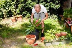 Il giardiniere repot la pianta verde della vera dell'aloe in giardino Fotografia Stock
