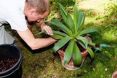 Il giardiniere repot la pianta verde della vera dell'aloe in giardino Immagini Stock Libere da Diritti