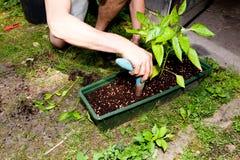 Il giardiniere repot la pianta verde della vera dell'aloe in giardino Immagine Stock Libera da Diritti