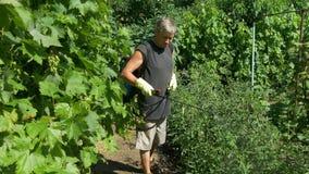 Il giardiniere spruzza i cespugli del pomodoro vicino all'uva ed ai cetrioli della vite dallo spruzzatore senza cordone stock footage