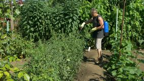 Il giardiniere spruzza i cespugli del pomodoro vicino all'uva ed ai cetrioli della vite dallo spruzzatore senza cordone archivi video