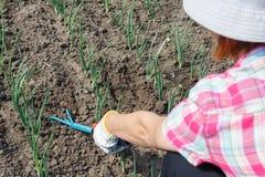 Il giardiniere sta allentando il suolo intorno alle cipolle facendo uso del giardino r della mano Immagini Stock Libere da Diritti