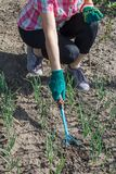 Il giardiniere sta allentando il suolo intorno alle cipolle facendo uso del giardino r della mano Fotografie Stock Libere da Diritti