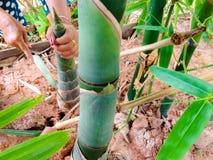 Il giardiniere sta tagliando il bambù Immagine Stock