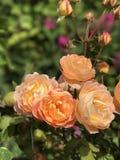 Il giardino è aumentato Fotografie Stock