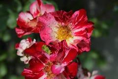 Il giardino è aumentato Fotografia Stock Libera da Diritti