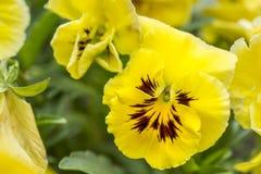 Il giardino adorabile fiorisce le viole del pensiero gialle, Fotografia Stock