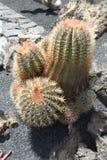 Il giardino del cactus nell'isola di Lanzarote in isole Canarie Immagini Stock Libere da Diritti