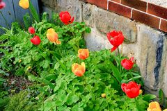 Il giardino del villaggio Giardino della primavera davanti alla casa del villaggio Tulipani in un piccolo giardino Fotografie Stock Libere da Diritti