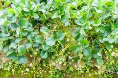 Il giardino dell'azienda agricola della fragola Immagine Stock