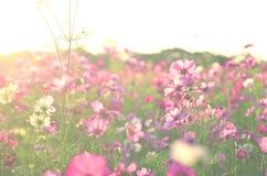Il giardino floreale dell'universo è rosa Fotografia Stock