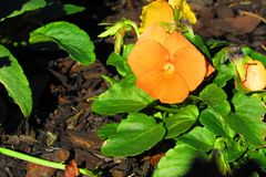 Il giardino floreale ha pansé arancio con fogliame frondoso verde che luccica nella luce solare diretta di mattina immagini stock