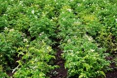 Il giardino piantato con le patate Immagine Stock