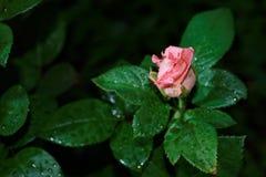 Il giardino rosa è aumentato con rugiada su dopo la pioggia Fotografia Stock