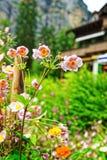 Il giardino rosa fiorisce alla valle di Lauterbrunnen a Berna della Svizzera Fotografie Stock
