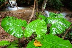 Il gigante fantastico lascia un percorso accanto ad una corrente in foresta, nella superficie di arte e nella forma tropicali del immagini stock