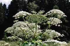 Il gigante hogweed la crescita in un campo nelle montagne del manteggazzianum di heracleum di Adygea fotografia stock libera da diritti