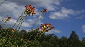 Il giglio arancio di fioritura fiorisce nel parco della città archivi video