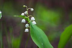 Il giglio bianco fiorisce nel legno in primavera Fotografie Stock Libere da Diritti