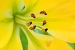 Il giglio giallo con gli stamens marroni a macroistruzione fotografia stock