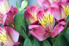 Il giglio rosa delle inche si chiude su Fotografie Stock