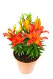 Il giglio rosso fiorisce nell'immagine isolata vaso Fotografia Stock