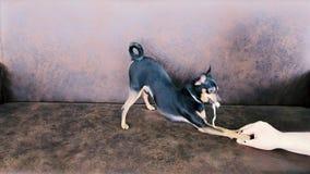 Il giocattolo russo della razza del cucciolo è divertimento archivi video