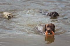 Il gioco dei labrador retriever in un lago Immagini Stock Libere da Diritti