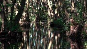 Il gioco di luce nelle paludi Regione del sud L'ontano ? rosso archivi video