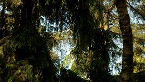Il giorno di estate soleggiato nella foresta, il sentiero forestale, ha mangiato, movimento lento verticale giù archivi video