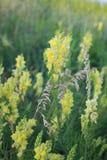 il giorno di fioritura sistema l'estate rurale di sally del fiore del fireweed Fiori dei campi Fiore giallo Bello fiore del campo fotografie stock libere da diritti
