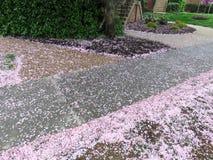 Il giorno piovoso Kwanzan caduto sboccia sul marciapiede fotografie stock