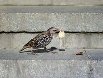 Il giovane affare dello storno dell'uccello del nero della molla nella città è sweepin Fotografia Stock