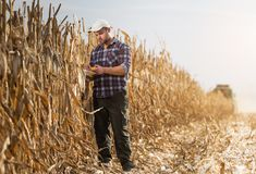 Il giovane agricoltore esamina il cereale nel campo di grano durante il raccolto Fotografia Stock Libera da Diritti