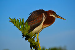 Il giovane airone di Tricolored (egretta tricolore) si è appollaiato sul ramo fotografia stock