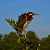 Il giovane airone di Tricolored (egretta tricolore) si è appollaiato sul ramo fotografie stock libere da diritti
