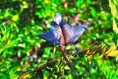 Il giovane airone di Tricolored (egretta tricolore) si è appollaiato sul ramo fotografia stock libera da diritti