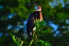 Il giovane airone di Tricolored (egretta tricolore) si è appollaiato sul ramo fotografie stock