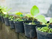 Il giovane albero verde della melanzana dell'alberello cresce da suolo in vaso nero Concetto dell'ambiente e di agricoltura Fotografie Stock Libere da Diritti