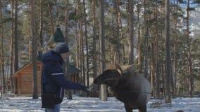 Il giovane alimenta i cervi al parco dell'inverno video d archivio
