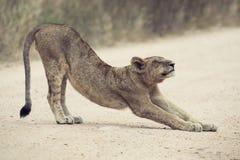 Il giovane allungamento del leone sulla sporcizia ha letto la conversione artistica Fotografia Stock
