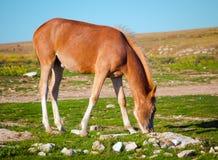 Il giovane animale da allevamento del cavallo ha pascolato sulla valle verde Fotografie Stock